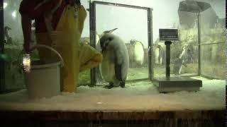 #2-22 Jan 2018 Emperor penguin at Adventure world, Japan