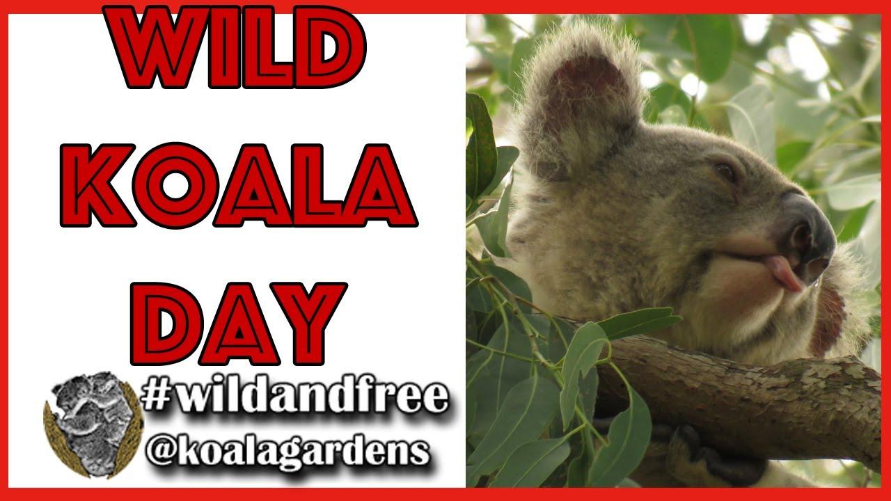 Wild Koala Day in lockdown 2020