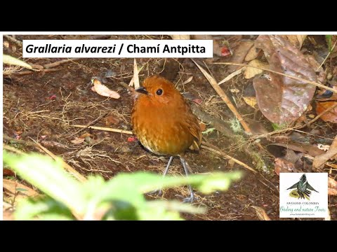 Grallaria alvarezi, Chamí Antpitta, western andes, endemic birds colombia