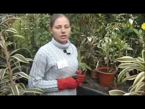 Зачем обрезать комнатные растения?