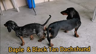 Dog Mating Dachshund Locked & Loaded, 2nd & 3rd Session. Reminiscing Of BRANDON My Stud Dog.