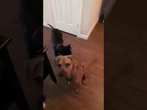 Pepper, an adopted Labrador Retriever & Manchester Terrier Mix in Baltimore, MD