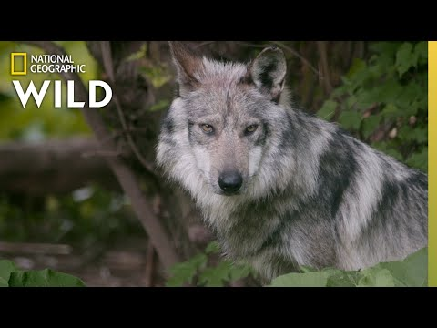 Wolf Pups Get a Check-up | Secrets of the Zoo