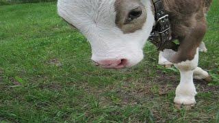 Откорм бычков: 10 дней против 10 месяцев