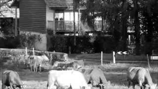 preview picture of video 'les Vaches de Mategnin a Meyrin novembre 8, 2014'