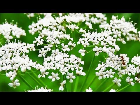 Анис обыкновенный (Pimpinélla anísum). Аніс звичайний