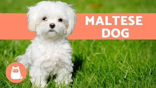 The Maltese Dog - Character, Care and Health
