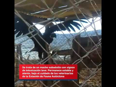 Video: Encuentran y tratan de sanar a un cóndor andino con signos de intoxicación