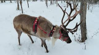 Reindeer Excited For Christmas