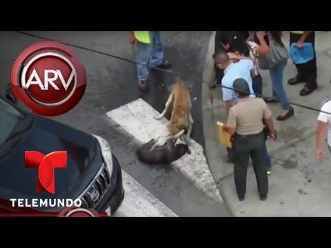 Caos en Chimbote, Perú por pelea de perros callejeros | Al Rojo Vivo | Telemundo