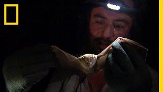 Bat Humiliation | National Geographic thumbnail