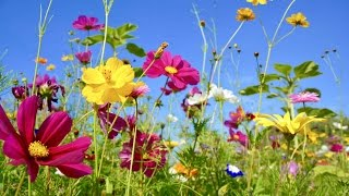 "Peaceful Music, Relaxing Music, Instrumental Music, ""Wildflowers"" by Tim Janis"