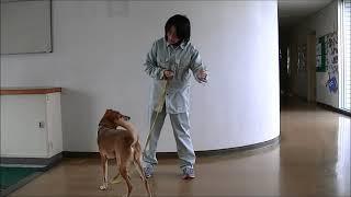 動画サムネイル:犬のしつけのワンポイント ~グータッチ編~