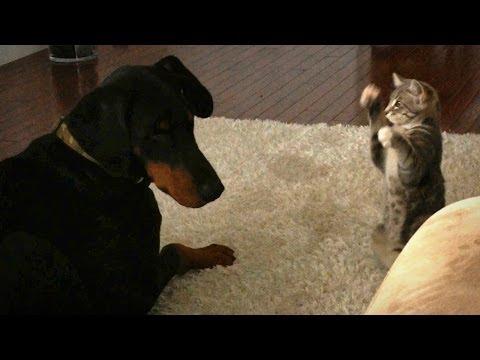 Lucha de titanes: un pequeño gato contra un perro Doberman