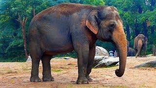 Слоны. Видео со Слонами. Слоны Видео. Футажи для видеомонтажа