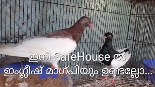 English Magpie Pair Intro To SafeHouse And How We Got The Pair For Only 500 Bucks Cost