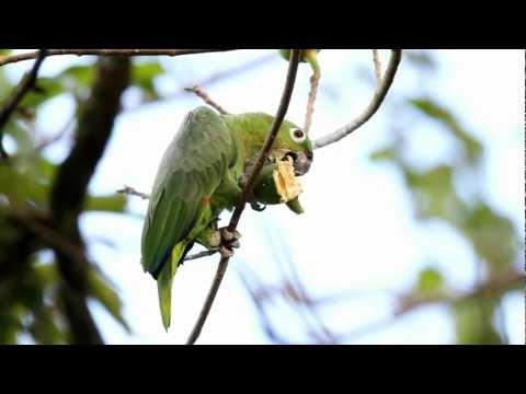 RE: Amazona farinosa