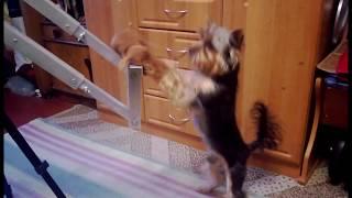 Собака Челси (йоркширский терьер) долго стоит на задних лапах!