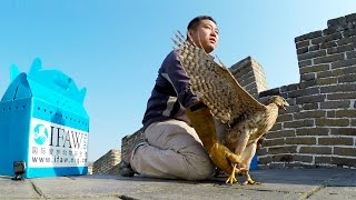 GoPro Cause: IFAW - Releasing Raptors Off The Great Wall of China