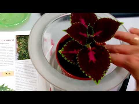 Колеус - размножение черенками проще простого