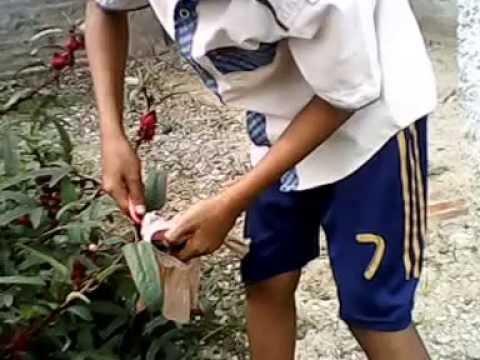Video Cara memanen buah rosela