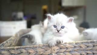 Красивые белые голубоглазые шотландские вислоухие котята - коты и кошки 2019 - приколы с котами