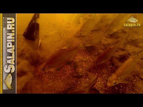 Как работает прикормка под водой и как кормится рыба (густера, подлещик) [salapinru]