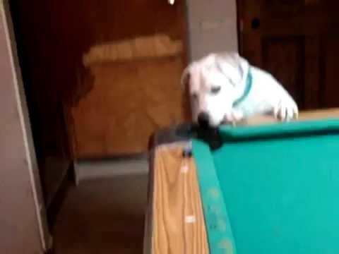 Anjing yang Pinter Main Biliard