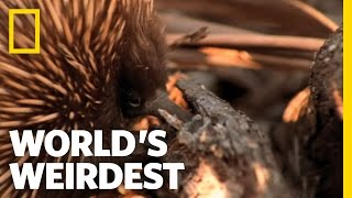 World's Weirdest - Echidna