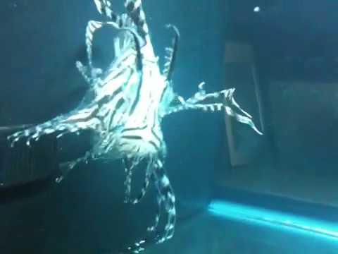 Video Chocolate black volitan lionfish ich ick treatment
