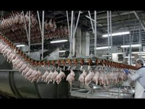Amazing POULTRY PRODUCTION mega farms Processing modern yk world technology