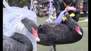 Swan wedding held on central China lake