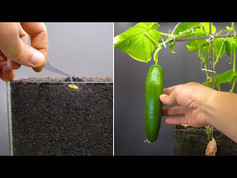 , title : 'Growing Cucumber Time Lapse Seed To Fruit In 55 Days