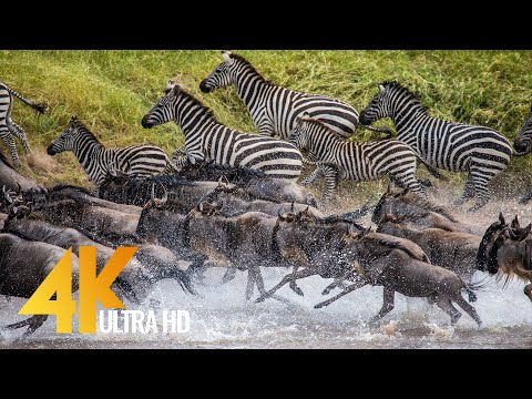 4K African Wildlife - Great Migration from the Serengeti to the Maasai Mara, Kenya (2160p 4k)