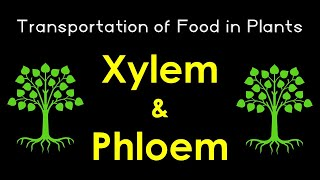 Xylem and Phloem | Transportation of food in Plant