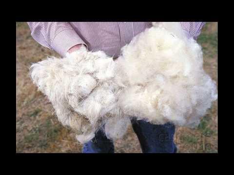 ТЫ НЕ ПОВЕРИШЬ!.Но.....НА овечке.....килограмм шерсти!!!