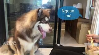 Chó Mật đi xin cơm  - thánh giả nai  ==)) Dogs Mật for dinner