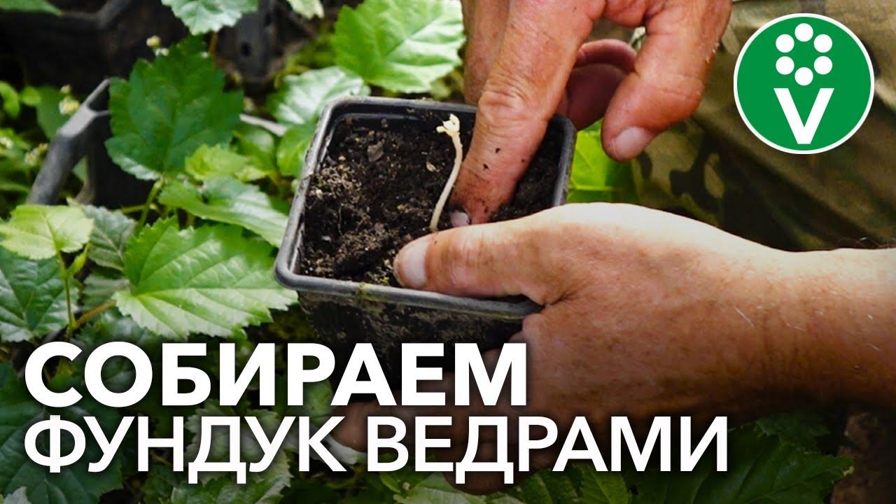 Как размножить фундук? Посев семян, прививка, отводки