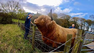 IT'S TIME FOR THE HUGE BULL TO LEAVE THE FARM... THE BBC CAME ROUND TO HELP