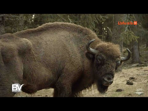 LOZERE - Bisons d'Europe, into the wild