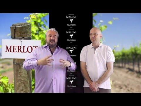 🔴 Was macht Weine aus der Rebsorte Merlot so besonders?