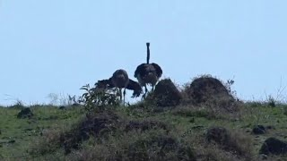 Male ostrich performs mating dance to impress the female