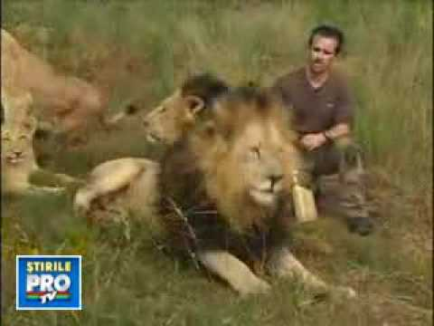 Unbelievable The Real Lionman Kevin Richardson With 38 Lions! King Of Lions
