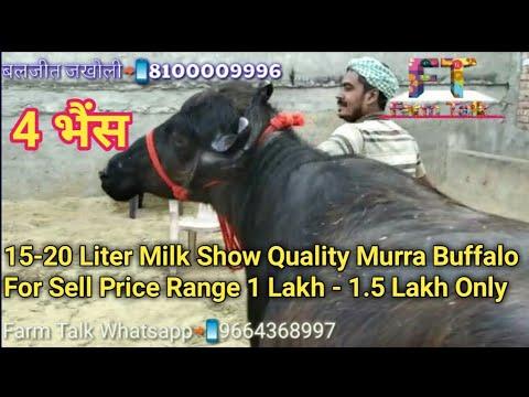4 Murrah Buffalo for sell show Quality 15 - 20+ kilo dudh price range 1-1.5 lakh || Farm Talk