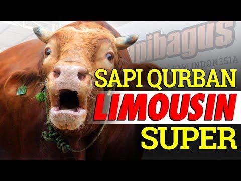 Beberapa Keistimewaan Sapi Limousin untuk Hewan Qurban #SAPIBAGUS