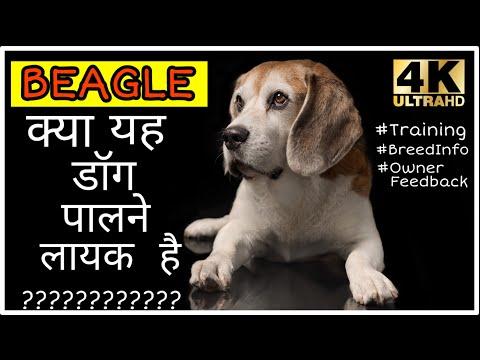 kaip numesti svorio beagle)