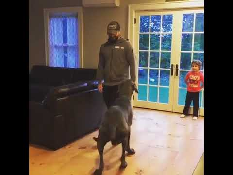 Great Dane Does Lunges
