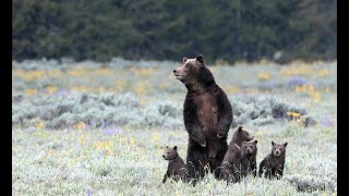 Wildlife Photography-Grizzly 399-4 cubs-The Stand-Jackson Hole/Grand Teton Park/Yellowstone Park