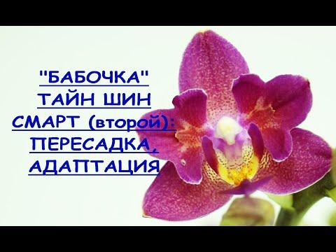 "Орхидея ""БАБОЧКА"":пересадка,РЕЗУЛЬТАТ,фаленопсис ""Тайн Шин Смарт"" бабочка №2.Phal.Tying Shin Smart."