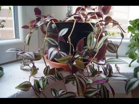 ТРАДЕСКАНЦИЯ комнатное растение  УХОД ПЕРЕСАДКА  и ПОЛИВ!